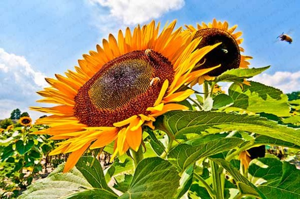 sunflowers, bees