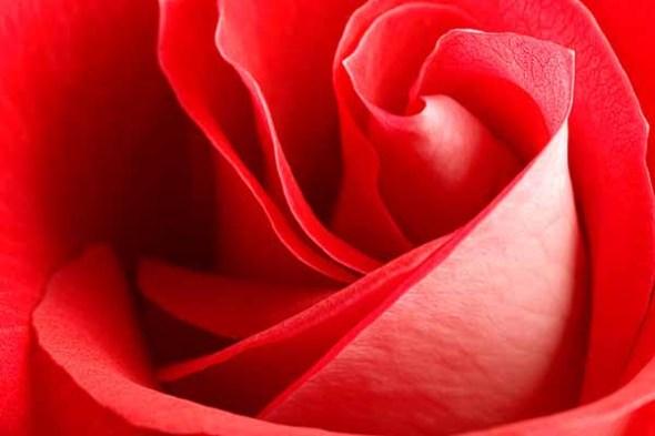 A closeup of a red rose.