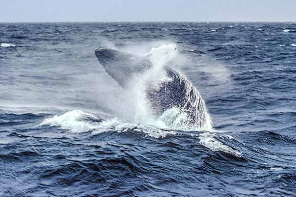 Whale, Whale Watch, Ocean, Marine Life