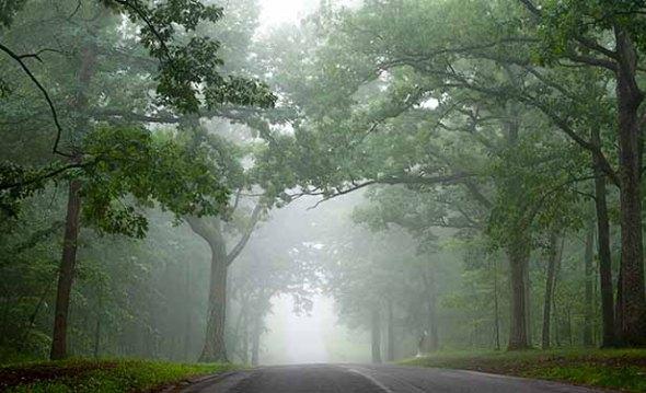 Trees, Forest, Fog, Mist