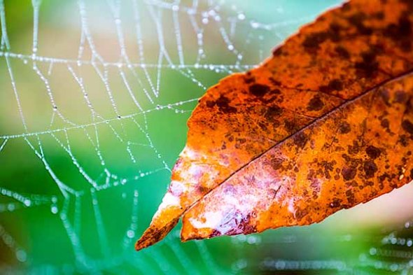 Spider web, rain, leaf