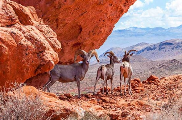 Valley of Fire, State Park, Nevada, Goats
