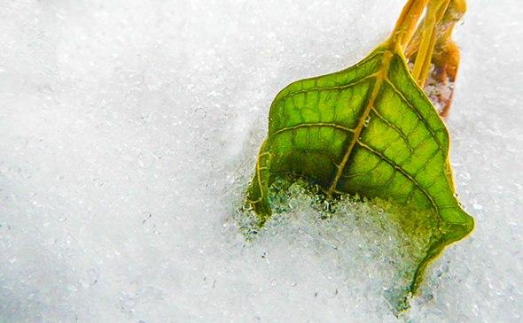 leaf, snow