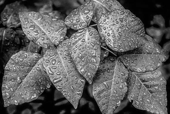 rain, black and white, leaves