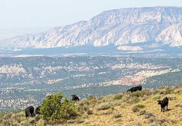Dinosaur National Monument, Colorado, Utah, Cattle, Cows